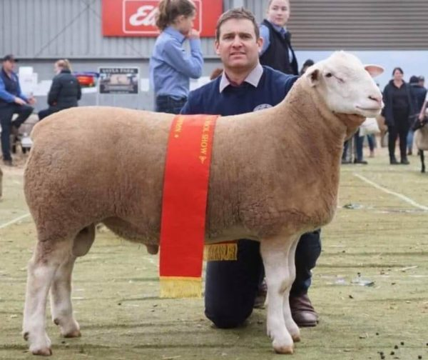 Reserve Champion Interbreed Sheep of the Bendigo Sheep & Wool Show & Grand Champion WHite Suffolk Ram
