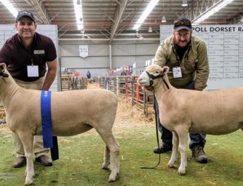 Bendigo Sheep & Wool Show 2019 – Poll Dorsets