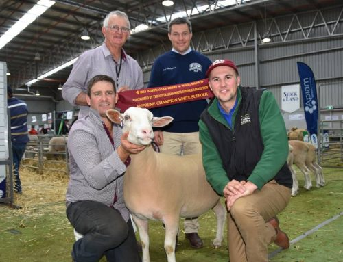 'Exceptional' White Suffolk ewe wins for NSW stud