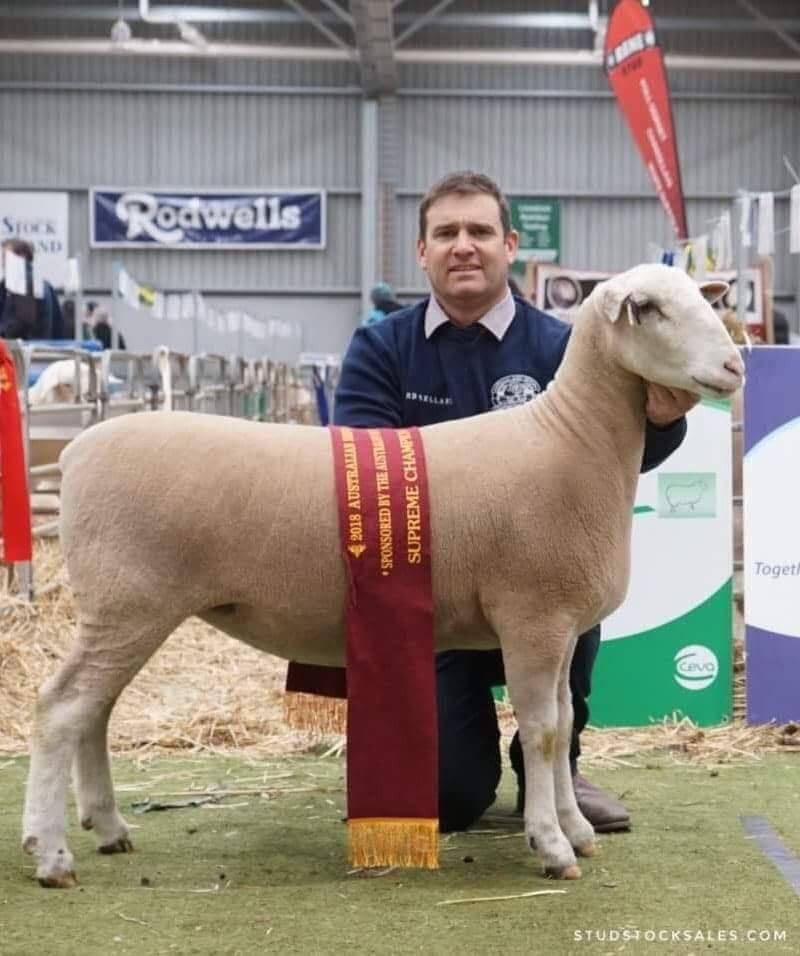 Grand Champion White Suffolk (Ewe)