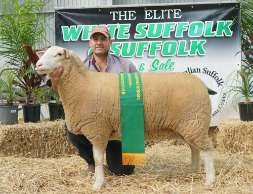 Bendigo Elite White Suffolk Show 2018