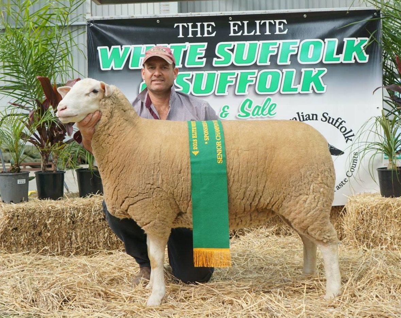 Senior Champion Ewe