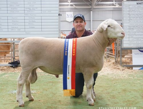Bendigo Sheep & Wool Show 2019 – White Suffolks