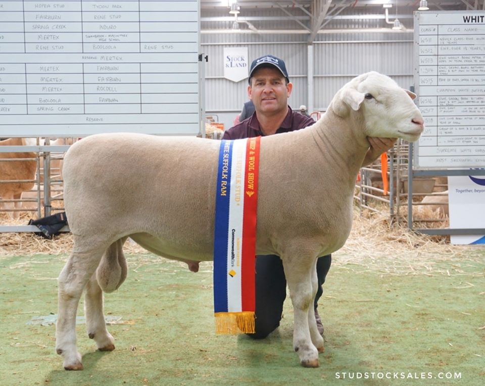Senior & Grand Champion White Suffolk Ram
